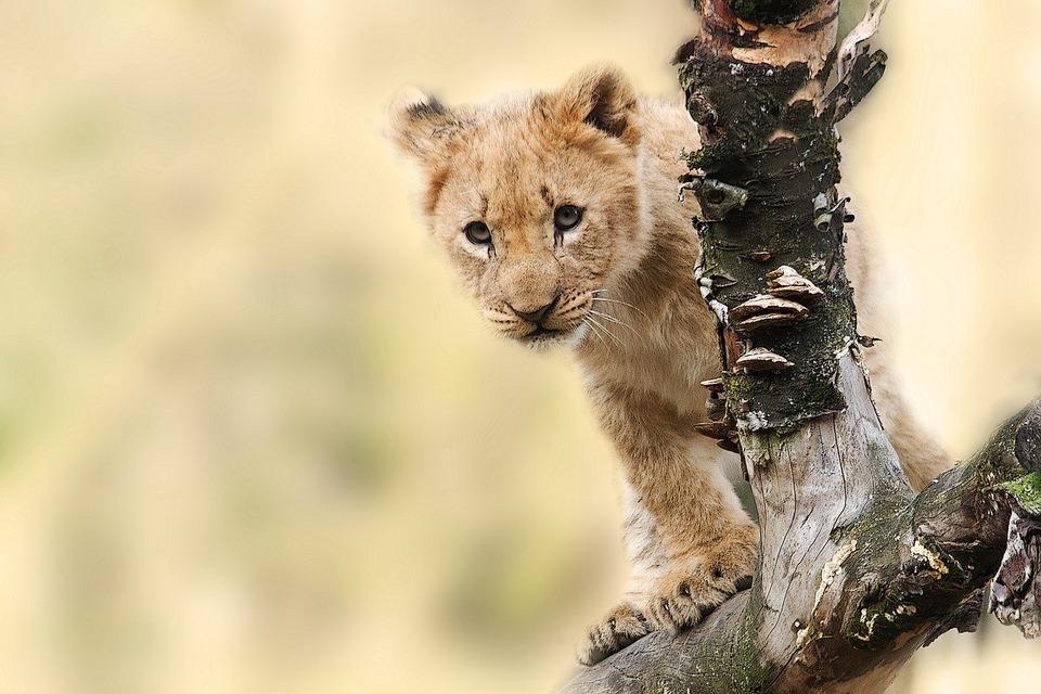 В Волгограде спасли львенка-путешественника