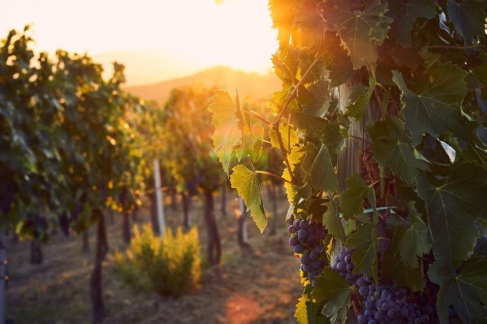 Отель в Тоскане предлагает взять шефство над виноградником
